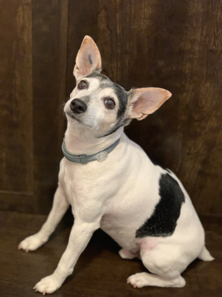 Photo of Shortie, a Toy Fox Terrier and Rat Terrier mix in Wheeling, West Virginia, USA
