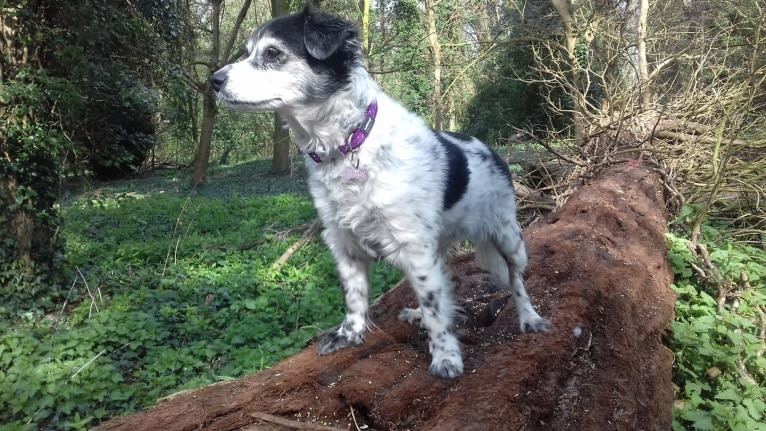 Photo of Crystal, a Russell-type Terrier, Yorkshire Terrier, Border Terrier, English Springer Spaniel, and Welsh Terrier mix in Peterborough, England, United Kingdom