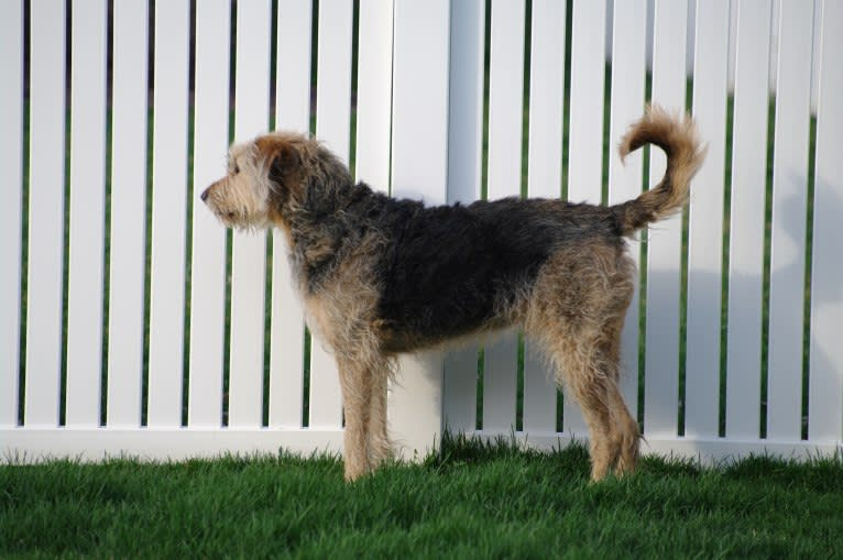 Photo of Sunny, an Airedale Terrier and Bluetick Coonhound mix in Bloomington, Illinois, USA