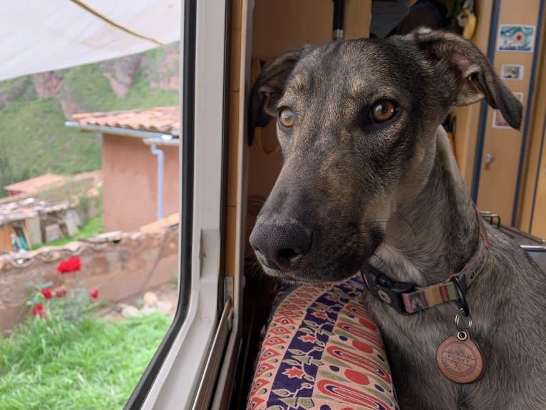 Photo of Punky, an American Village Dog and Labrador Retriever mix in San Marcos La Laguna, Sololá Department, Guatemala