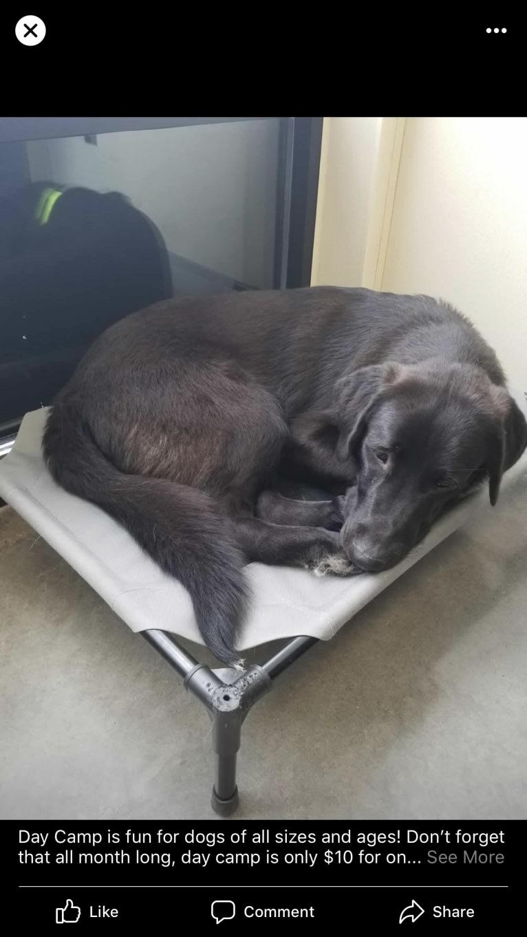 Photo of Leon, a Great Pyrenees, Labrador Retriever, and German Shepherd Dog mix in Texas, USA