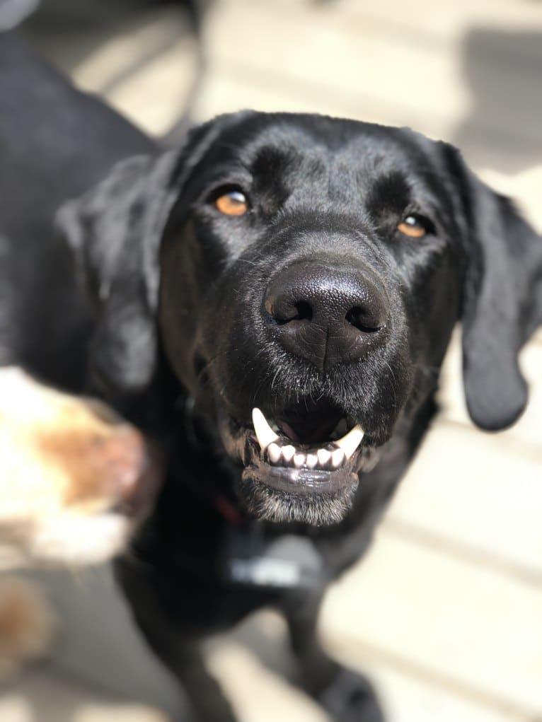 Photo of Cally, a Goldador  in Rhode Island, USA