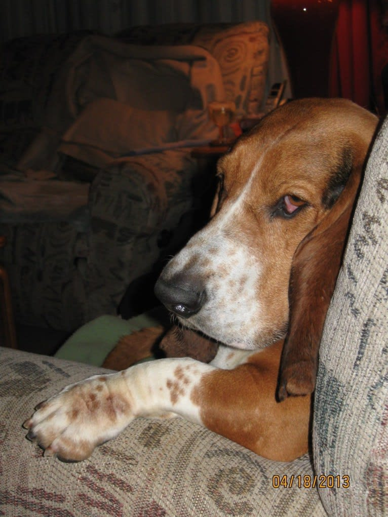 Photo of Teddy, a Basset Hound  in Virginia, USA