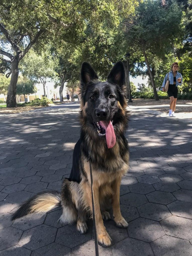 Photo of Nova, a German Shepherd Dog  in La Verne, California, USA