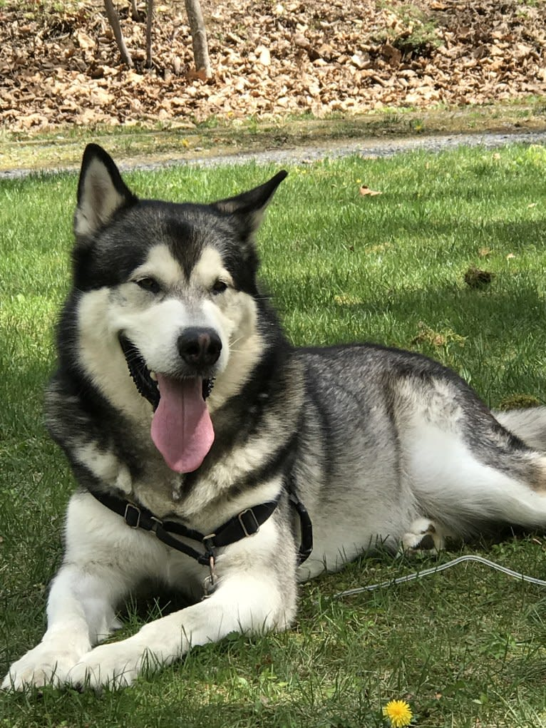 Photo of Fenrir, an Alaskan Malamute  in Baltimore, Maryland, USA