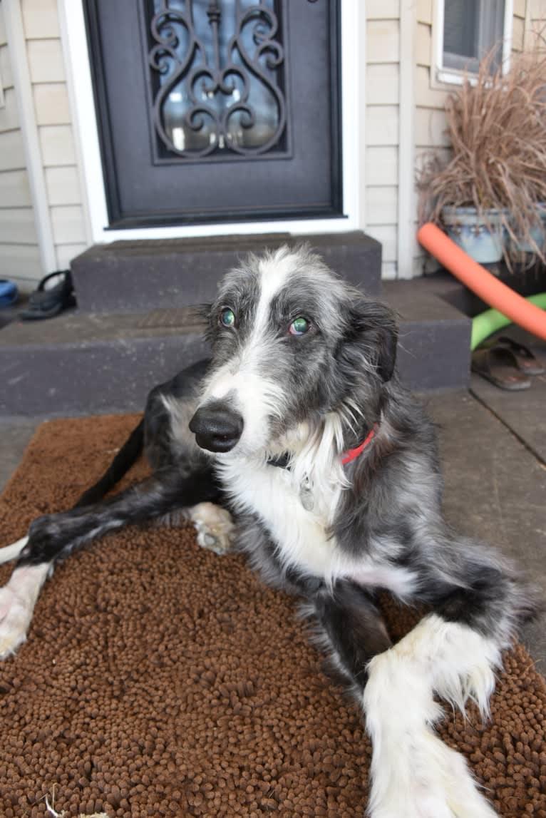 Photo of Auggie, a Greyhound and Scottish Deerhound mix in Greensburg, Pennsylvania, USA