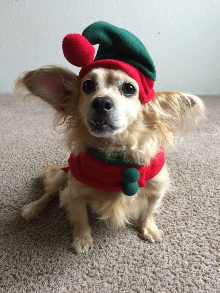 Photo of Sunny, a Cocker Spaniel, Chihuahua, Pomeranian, and Mixed mix