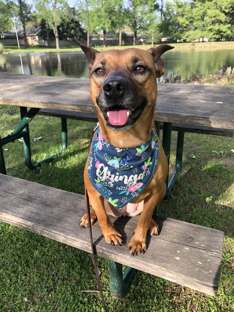 Photo of Gringa, an American Pit Bull Terrier, Australian Cattle Dog, and Mixed mix in Jackson, Mississippi, USA
