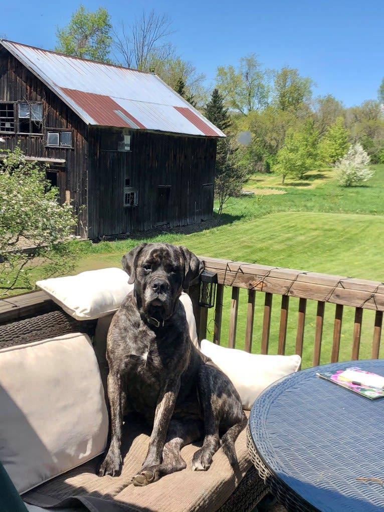 Photo of Miss Delilah, a Mastiff  in Bangor, Pennsylvania, USA