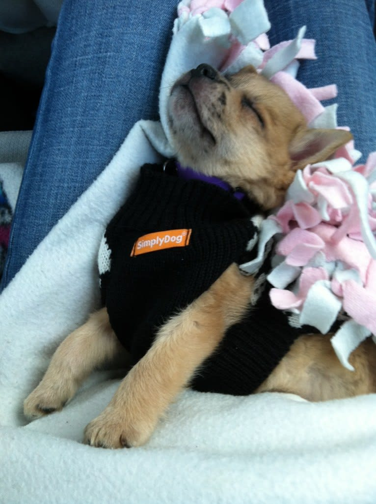 Photo of Lucian Thor, a Pomeranian, Shetland Sheepdog, and Boston Terrier mix in Michigan, USA