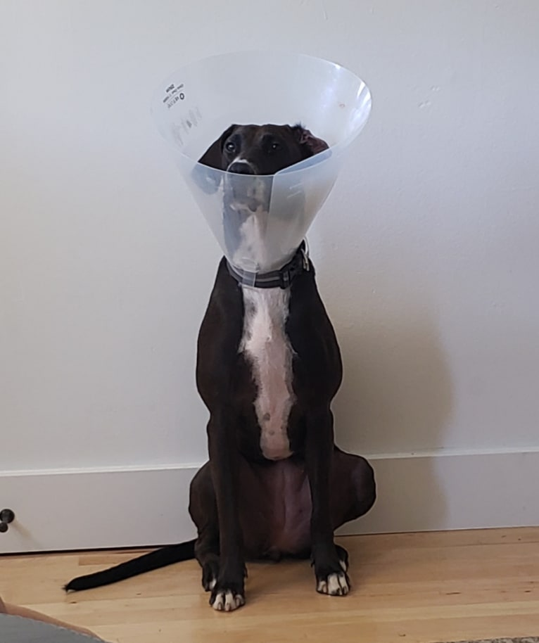 Photo of Sophie, a Doberman Pinscher and American Pit Bull Terrier mix in Texas, USA