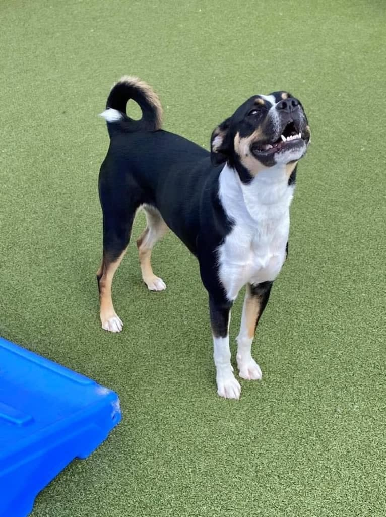 Photo of Shelby, a Boxer, Border Collie, and American Pit Bull Terrier mix in Plumsted Township, New Jersey, USA