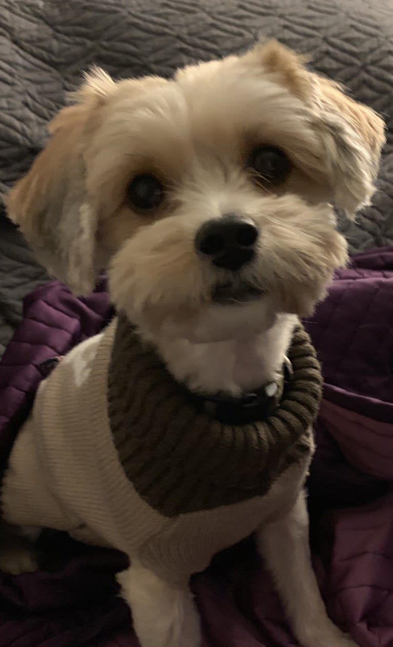 Photo of Toby, a Yorkshire Terrier, Poodle (Small), and Lhasa Apso mix