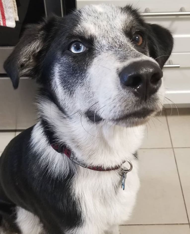 Photo of Rambo, a Siberian Husky, Rottweiler, German Shepherd Dog, and Mixed mix in Winnipeg, Manitoba, Canada