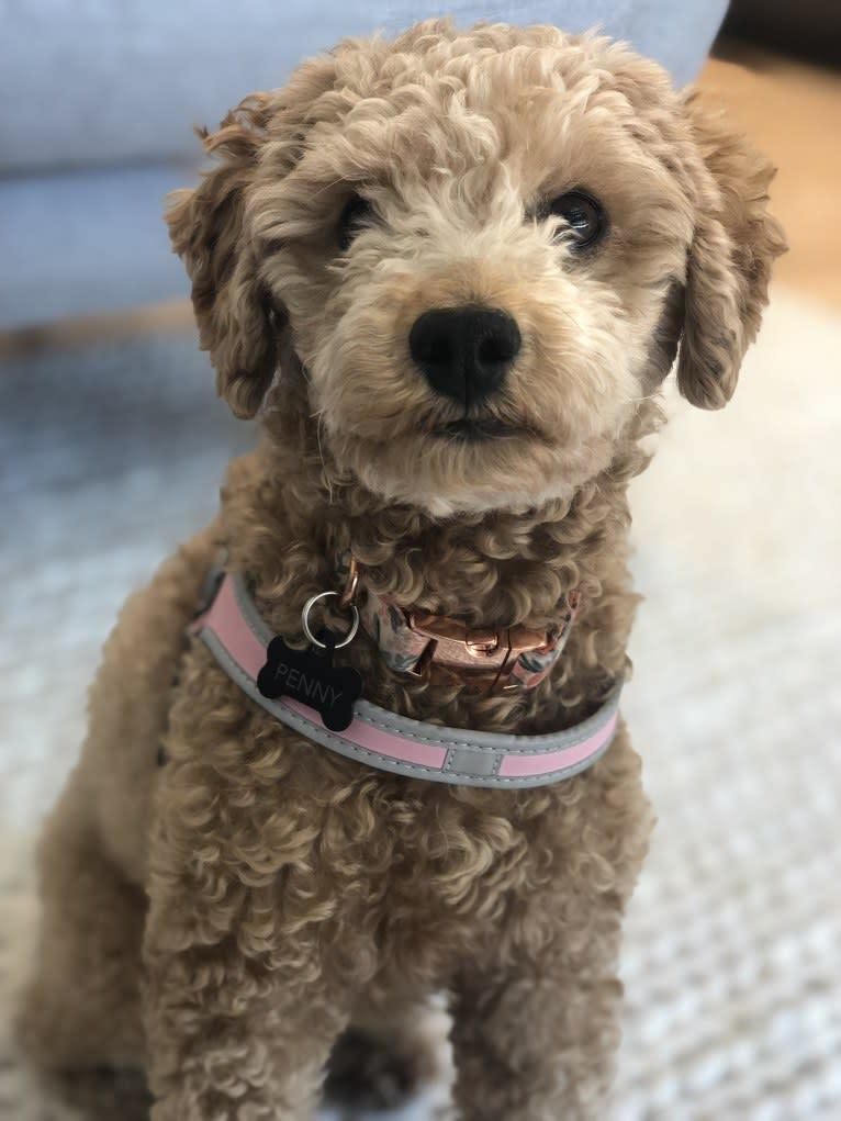 Photo of Penny, a Maltipoo  in South Korea
