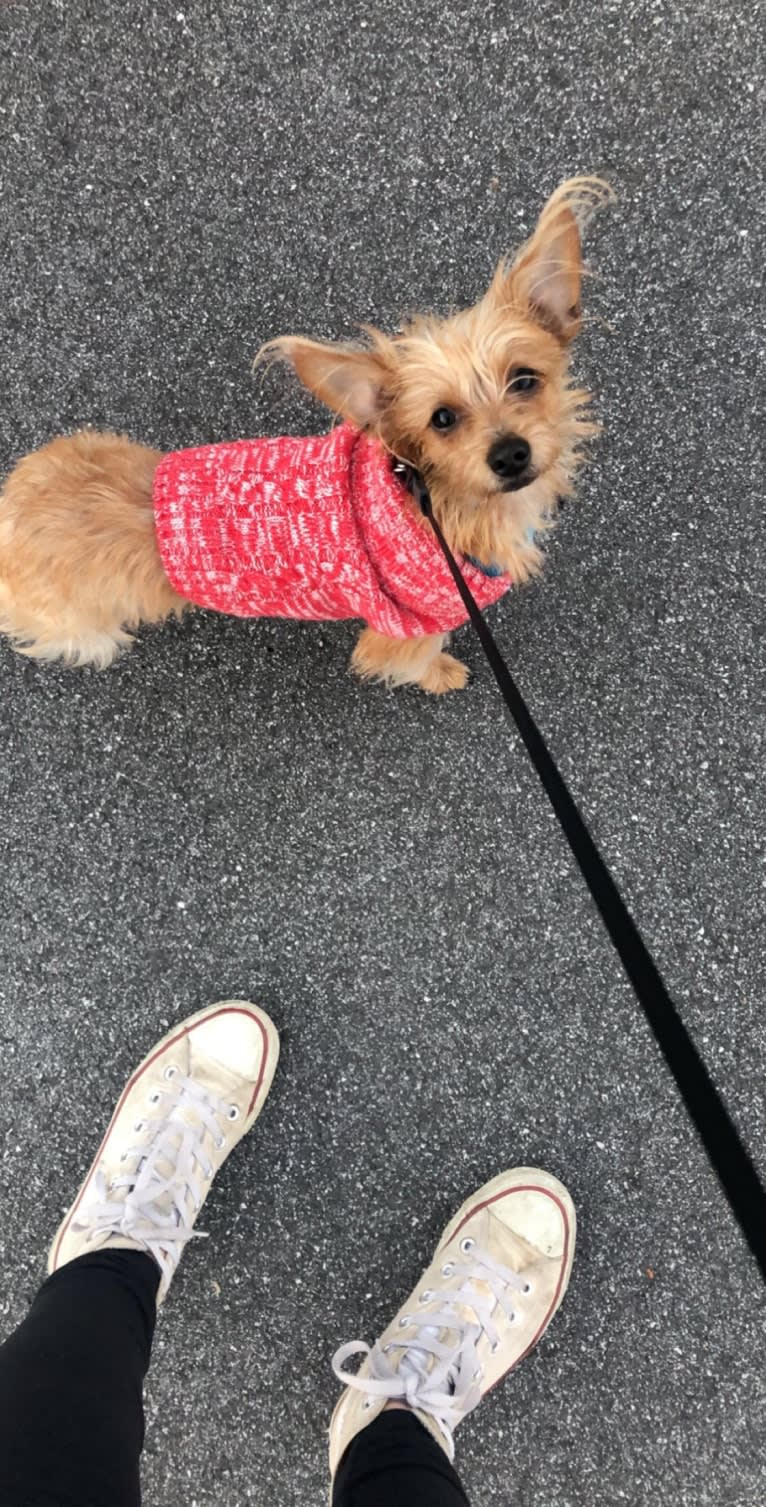 Photo of Pippi, a Dachshund, Shih Tzu, and Mixed mix in Athens, Georgia, USA