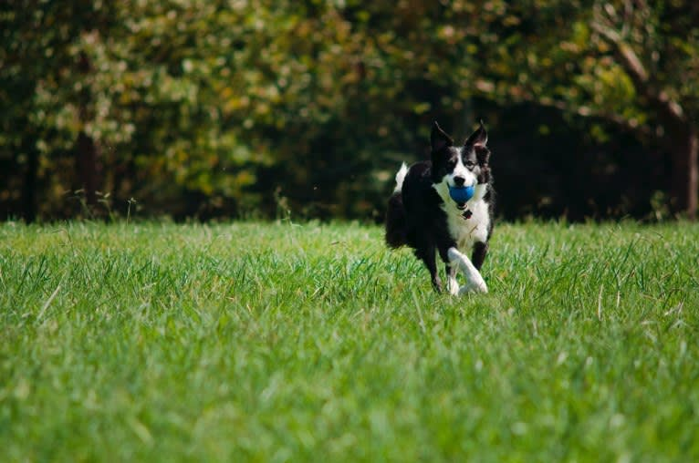 Photo of Jack, a Border Collie