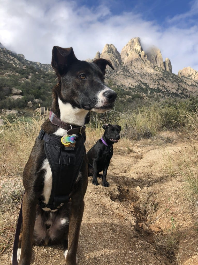 Photo of Moose, a Siberian Husky, American Pit Bull Terrier, Australian Cattle Dog, German Shepherd Dog, and Chow Chow mix in Las Cruces, New Mexico, USA