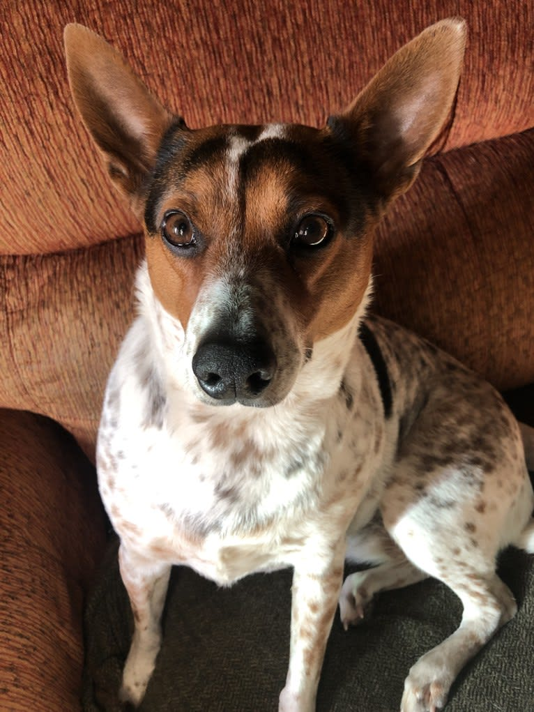 Photo of Sadie, an Australian Cattle Dog, Border Collie, and Mixed mix in Santa Paula, California, USA