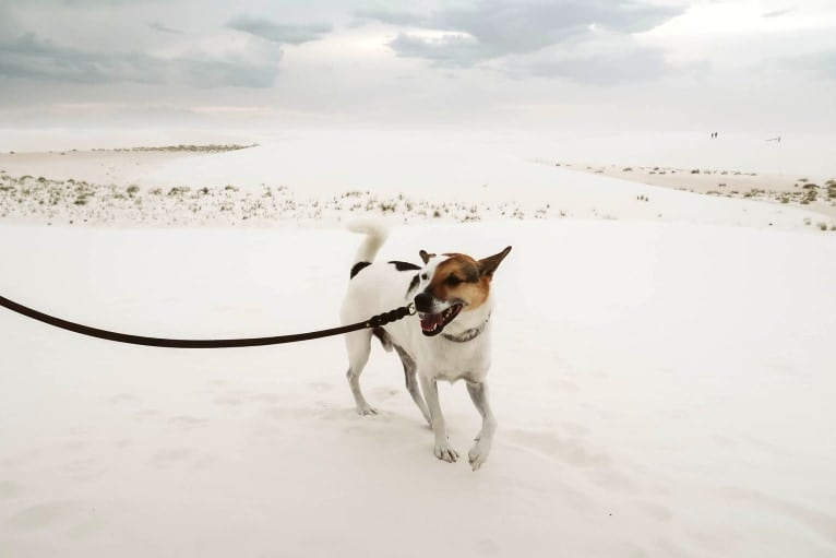 Photo of Rengar, a Norwegian Elkhound, Beagle, and American Eskimo Dog mix in Baltimore, Maryland, USA