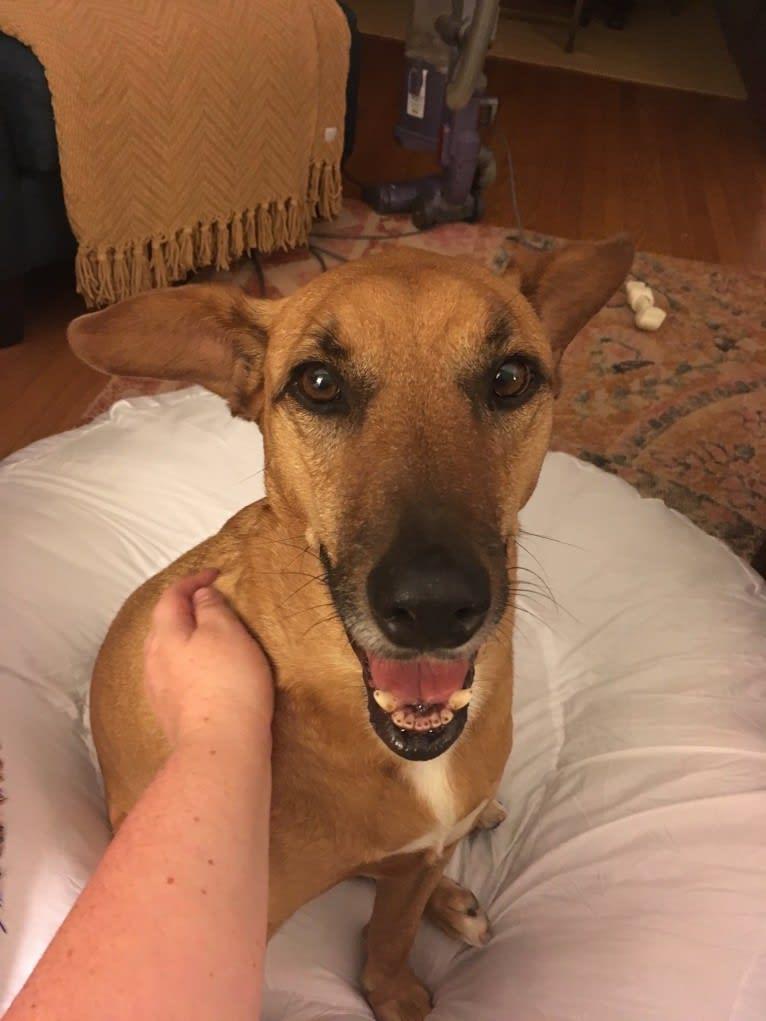 Photo of Tate, an American Pit Bull Terrier, Labrador Retriever, Bulldog, Boxer, and Mixed mix in Huntsville, Alabama, USA