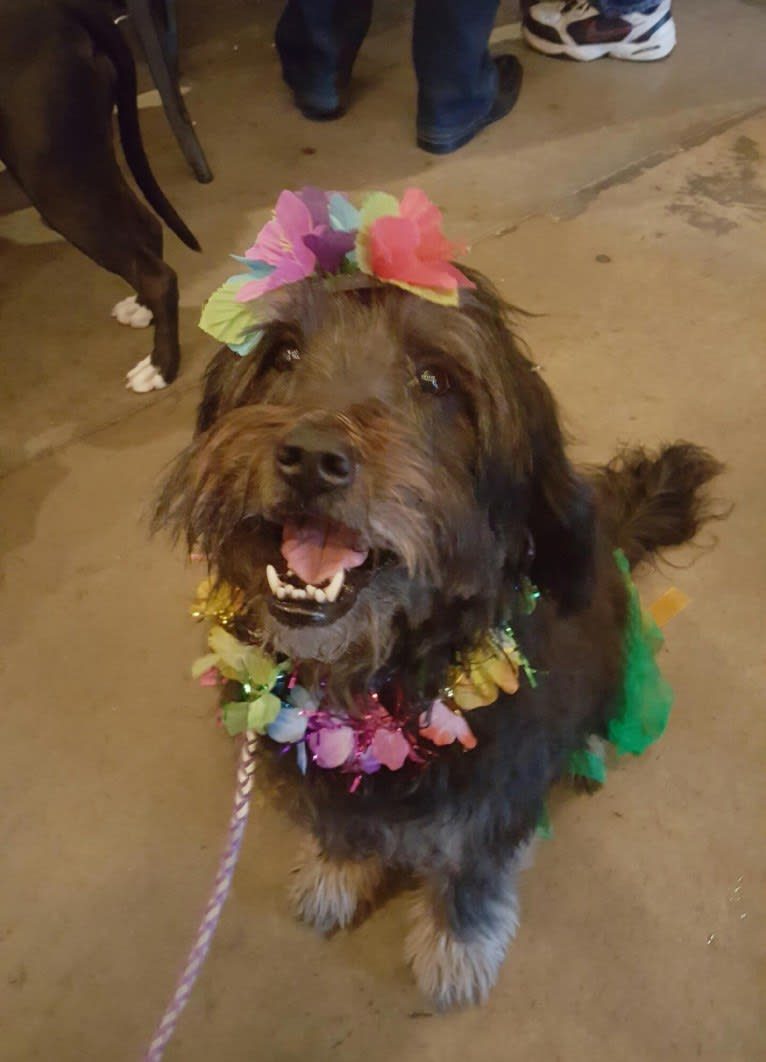 Photo of Lani, a Shih Tzu, Poodle (Small), Chow Chow, Labrador Retriever, and Mixed mix in Denver, CO, USA