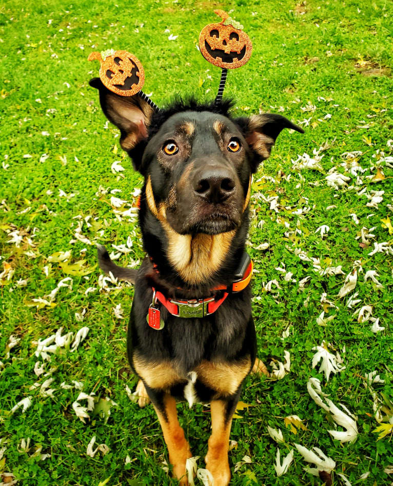 "Photo of Mischief Managed ""Loki"", a German Shepherd Dog and Rottweiler mix in San Diego, California, USA"