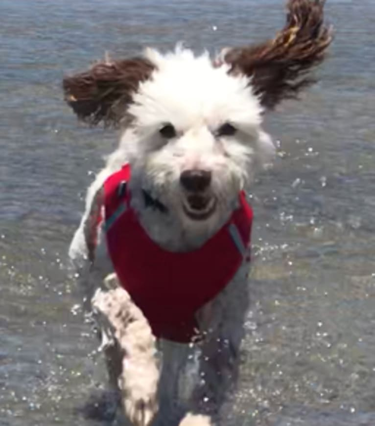 Photo of Tucker McFluffins Doodlepants, a Poodle (Small), Chihuahua, and Dachshund mix in Los Angeles, California, USA