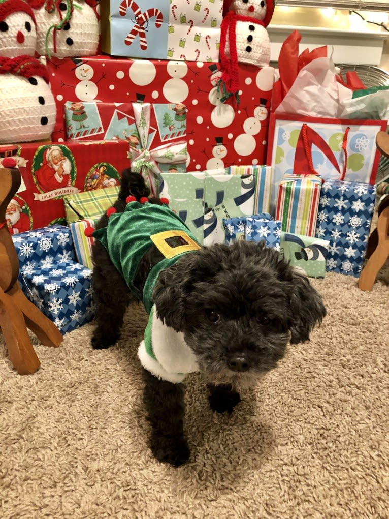 Photo of Stanley, a Poodle (Small) mix in St Clair Shores, Michigan, USA