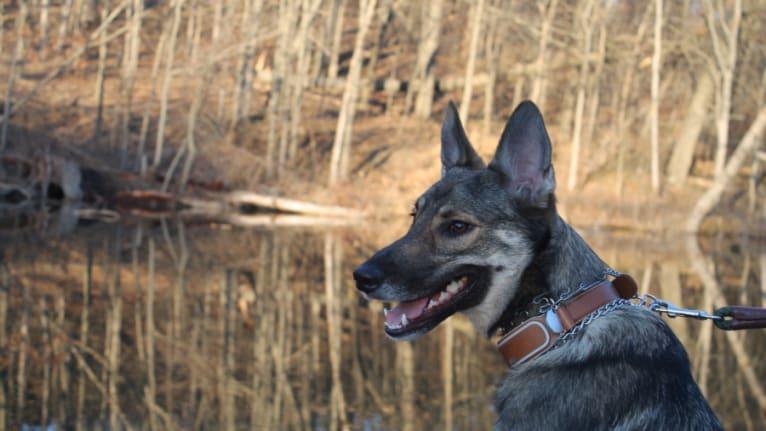 Photo of Indigo, a German Shepherd Dog, Belgian Malinois, Australian Shepherd, and Australian Cattle Dog mix