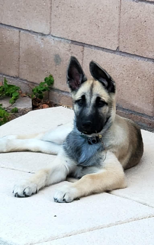 Photo of Ripley, a Belgian Malinois and Siberian Husky mix in Las Vegas, Nevada, USA