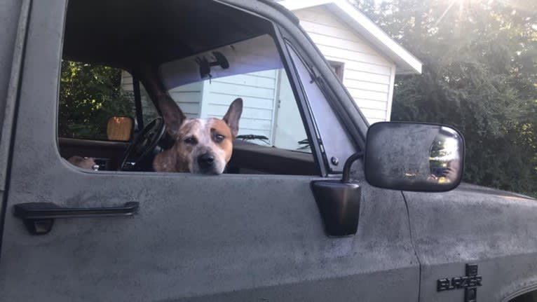 Photo of Frost, an Australian Cattle Dog  in Cosby, Tennessee, USA