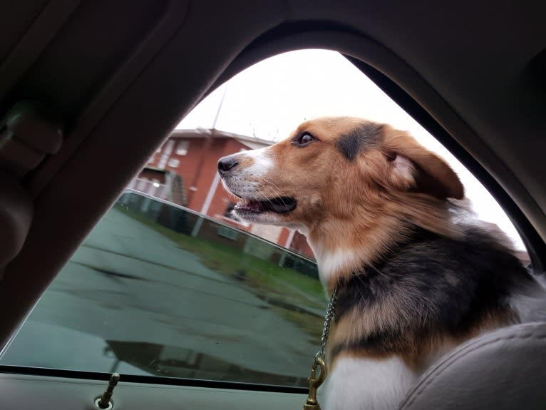 Photo of Frankie, a Beagle, Rat Terrier, Siberian Husky, Golden Retriever, and Mixed mix in Proctorville, Ohio, USA