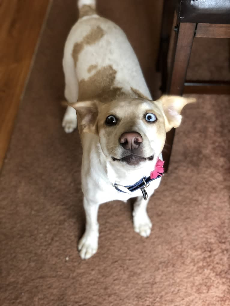 Photo of Blueberry, a Russell-type Terrier, Chihuahua, Bullmastiff, Border Collie, Beagle, and Mixed mix in Oran, Missouri, USA