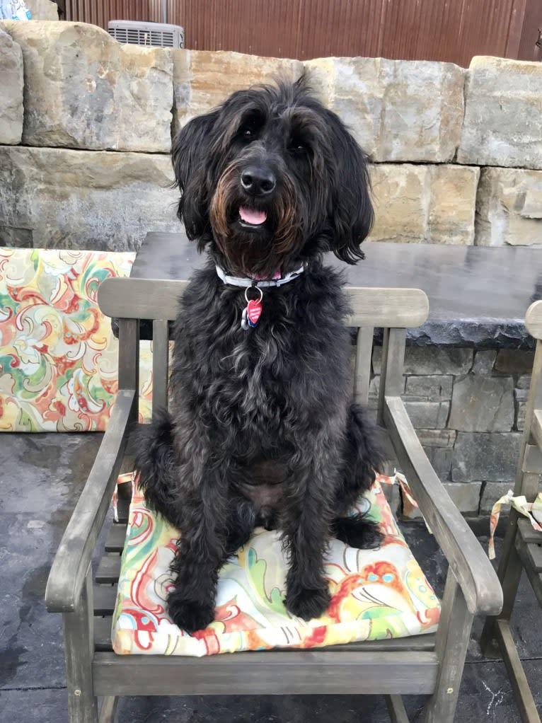 Photo of Bella, a Poodle (Standard) and Rhodesian Ridgeback mix in Fresno, California, USA