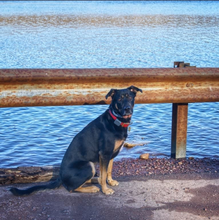 "Photo of Mischief Managed ""Loki"", a German Shepherd Dog and Rottweiler mix in San Diego, California, USA"