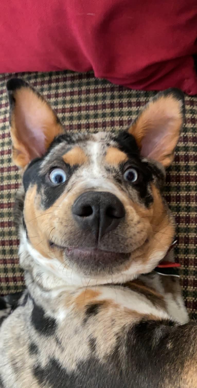 Photo of Duncan, an Australian Cattle Dog, American Pit Bull Terrier, Alaskan Malamute, Chow Chow, and Mixed mix in Douglas, Massachusetts, USA