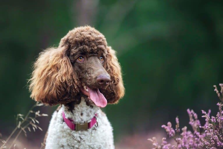 Photo of Kahlua, a Poodle (Standard)  in Lekkerkerk, Netherlands