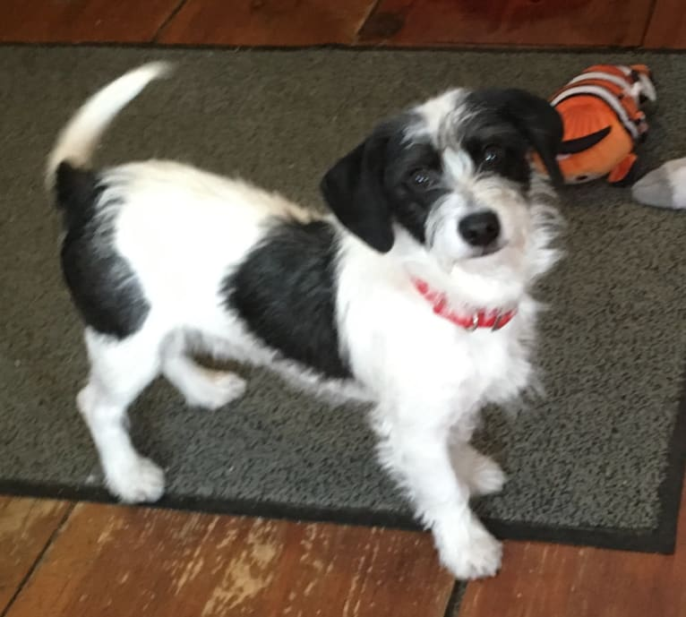 Photo of Pepe Le Pew, a Beagle, Maltese, Dachshund, Boston Terrier, Papillon, and Pekingese mix in Kentucky, USA