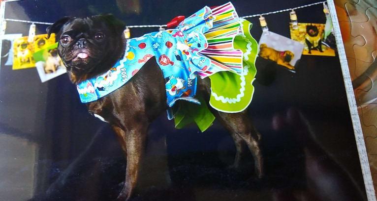 Photo of Dixie Lou, a Pug  in Robinson, Illinois, USA