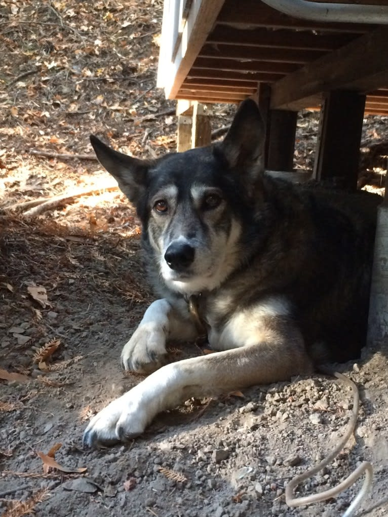 Photo of Destiny, a Siberian Husky, German Shepherd Dog, and Rottweiler mix