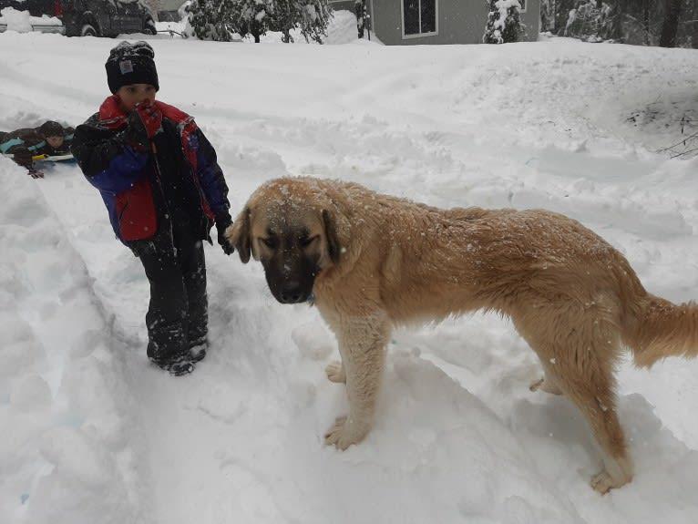 Photo of Duke, a Great Pyrenees and Anatolian Shepherd Dog mix in California, USA