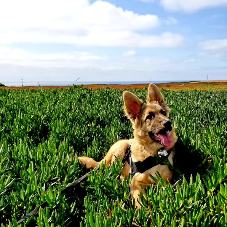 Photo of Marley, a German Shepherd Dog and American Staffordshire Terrier mix in SF, California, USA