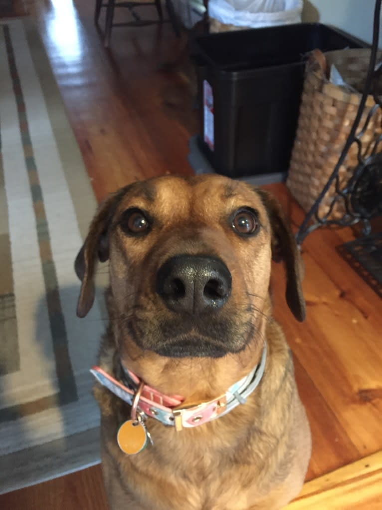 Photo of Ginger, a Rottweiler and American Pit Bull Terrier mix in Scituate, Massachusetts, USA