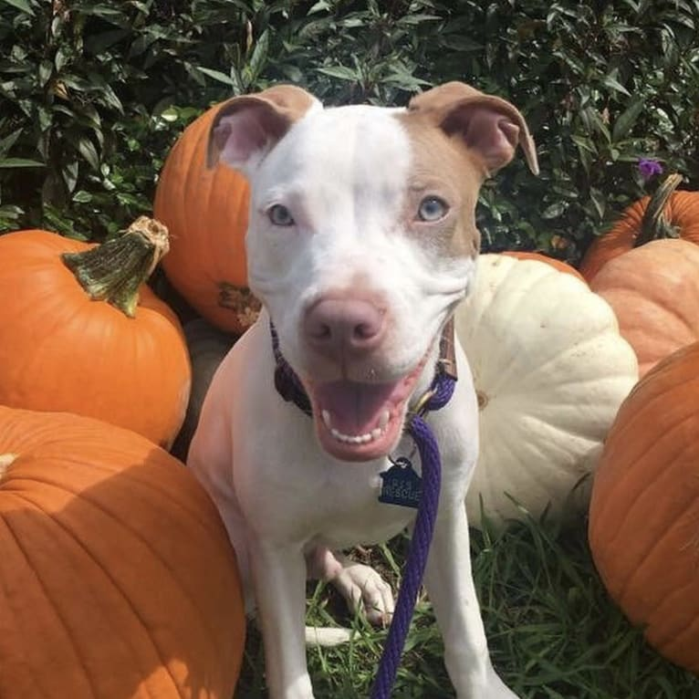 Photo of Milo, an American Pit Bull Terrier and American Staffordshire Terrier mix in Mesquite, Texas, USA