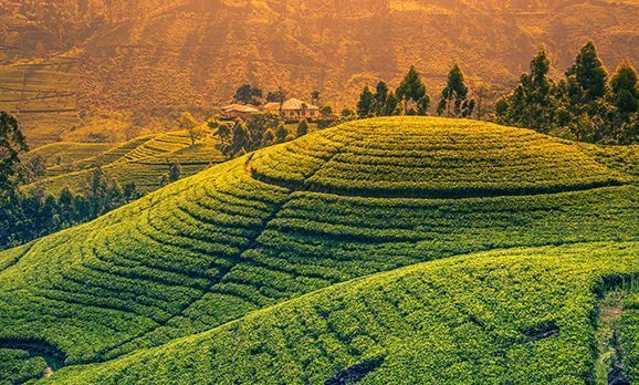Blick über saftiggrüne Teeplantagen in Sri Lanka bei Sonnenuntergang