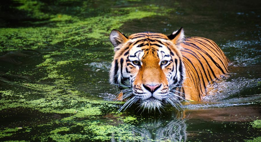 India is the best place to come face to face with the mighty tiger