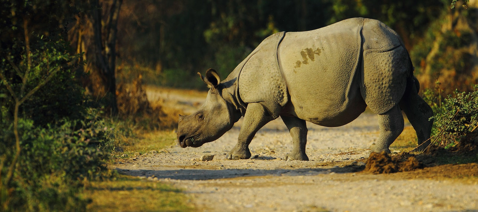 Enchanting Travels India Tours East India Indian one horned rhino in Kaziranga National Park of Assam in India