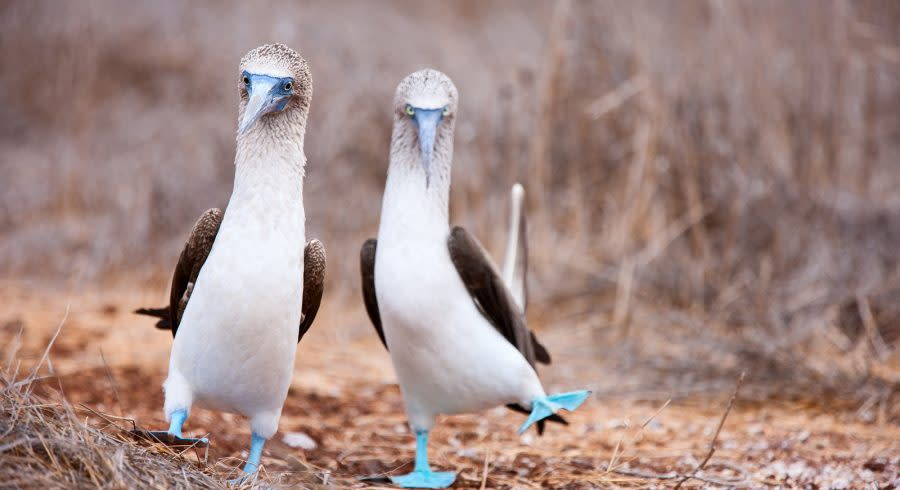 Enchanting Travels South America Tours Galapagos Boobies