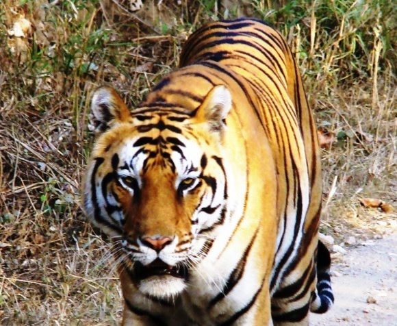 Tiger, tiger!  Exciting Travel wins Taj Travel Awards